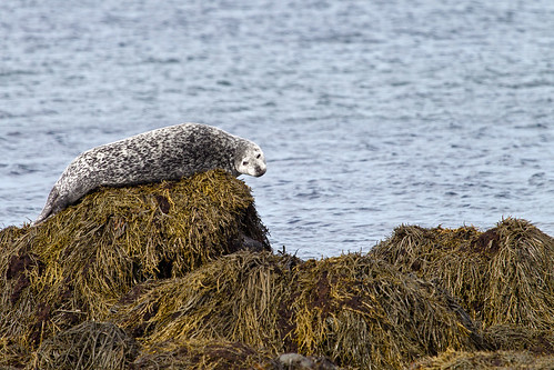 Seal in Snaefellsnes
