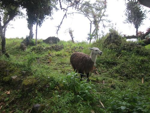 Llama at the Ruins
