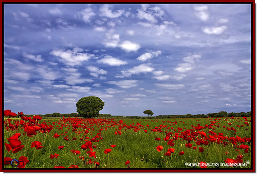 flowers blue red sky españa cloud paisajes naturaleza white flores flower color colour verde green primavera blanco nature colors weather azul clouds canon landscape eos landscapes spring spain rojo colours flor natura paisaje cielo nubes poppy poppies campo llanos nube lamancha llano poppie mancha castillalamancha llanura cauntry manchuela casasimarro eos7d antoniozamora manchuelaconquense