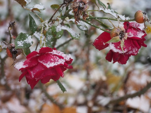 snow on the roses