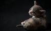 Kalico Kitten