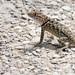 Desert Spiny Lizard (Sceloporus magister); Tucson, Arizona, Tohono Chul Park [Lou Feltz]