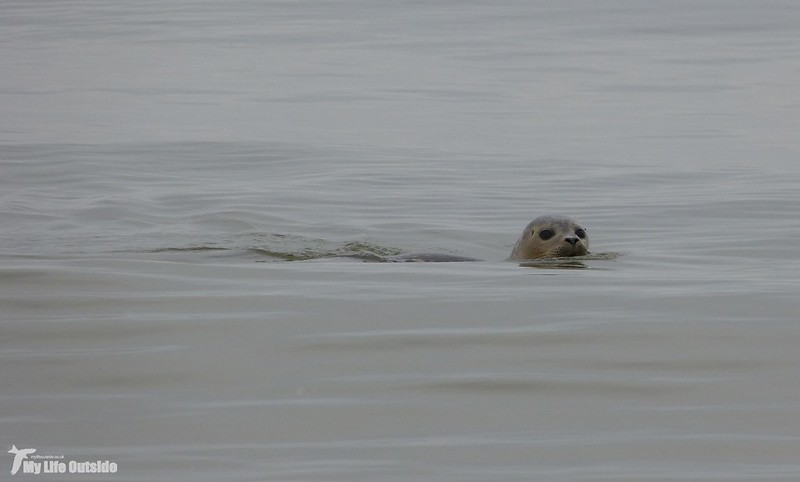P1100208 - Common Seal, Holkham