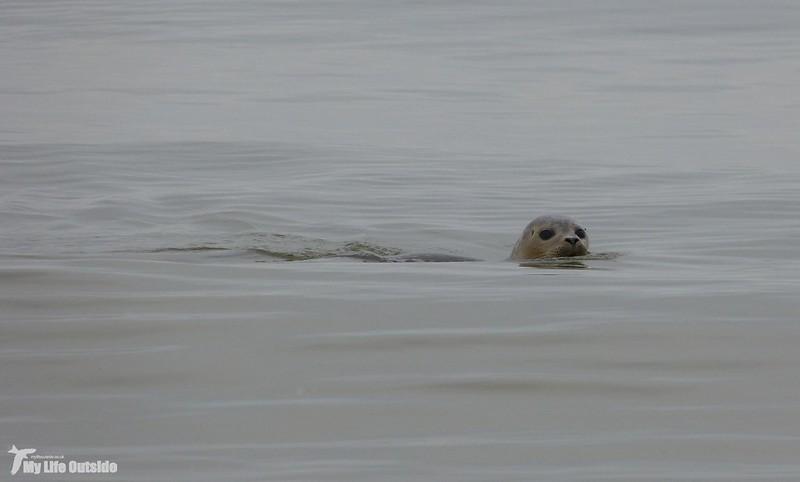 P1100208 - Common Seal, Holkham