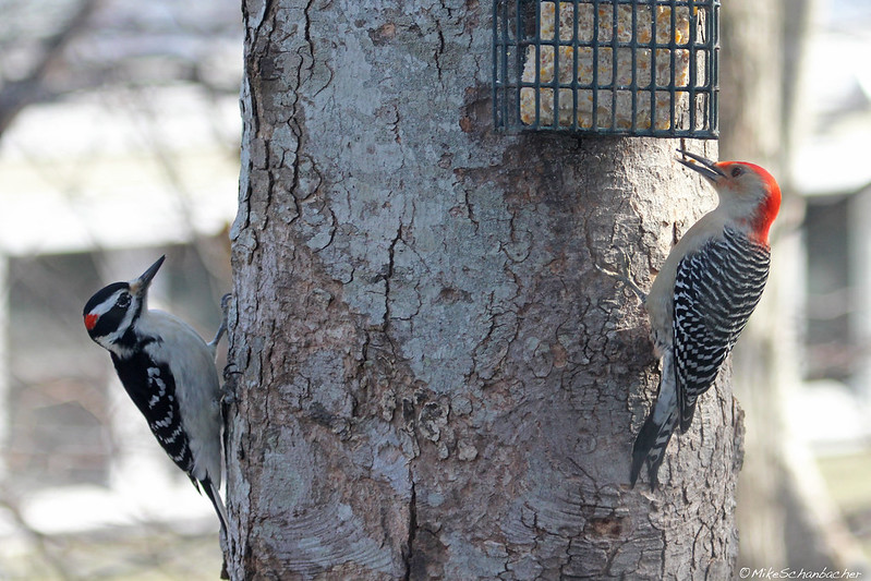 Hairy Woodpecker and Red-Bellied Woodpecker