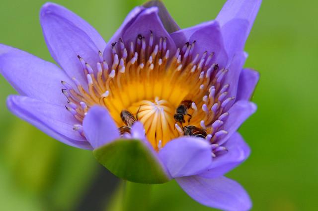Abejas recolectando polen de un nenufar