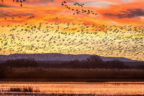 newmexico sunrise dawn geese bosquedelapache wildliferefuge riogrande flyout ©gregness sanpascualmountains
