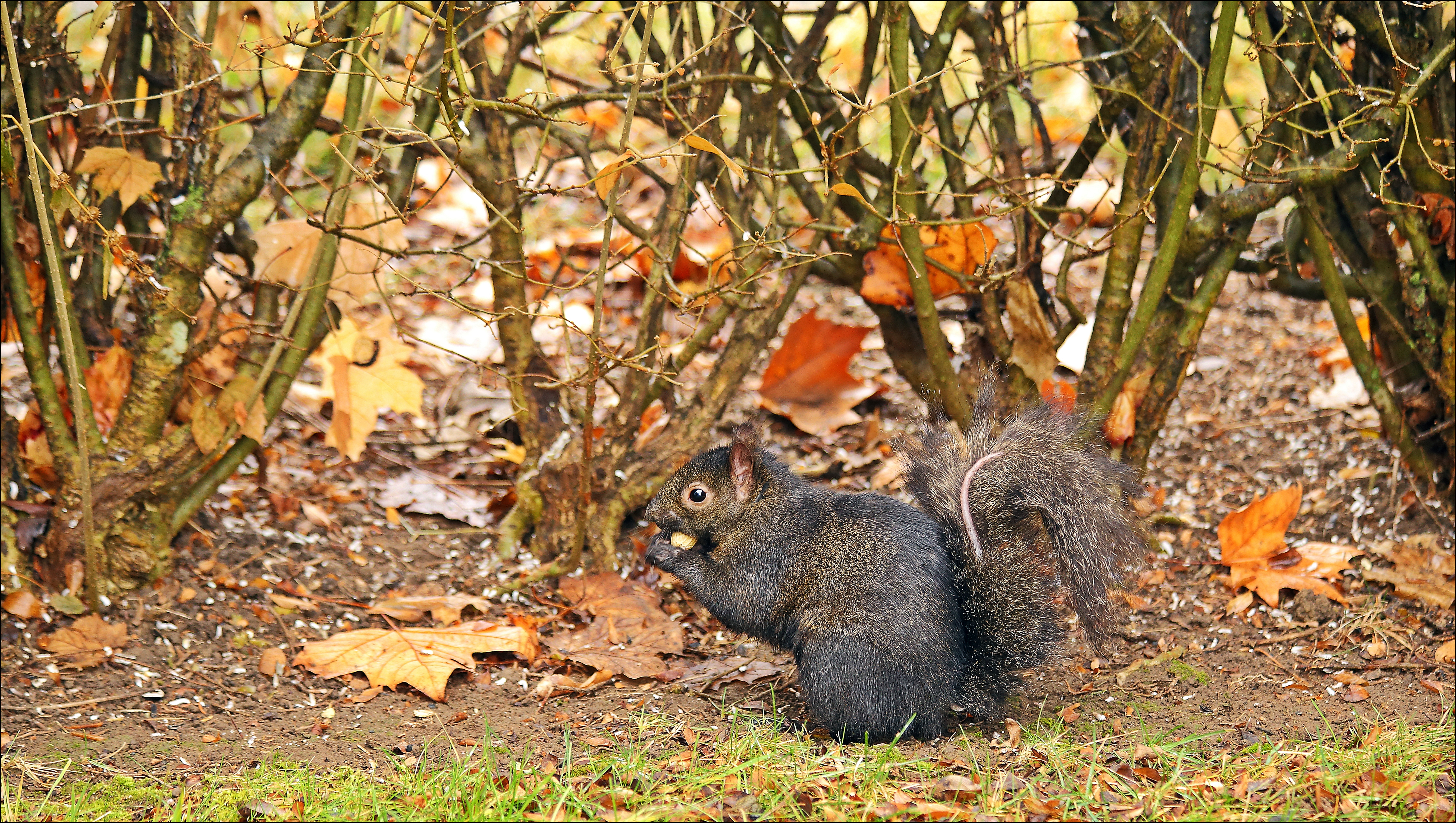 This Little Guy Is Very Friendly But Has Lost His Tail Fur somehow. black, canon, squirrel, 60d. buy photo