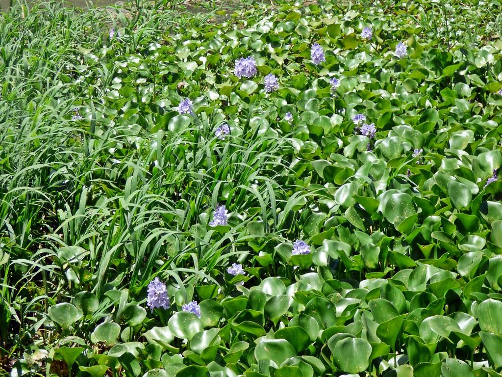 camalotes con flores