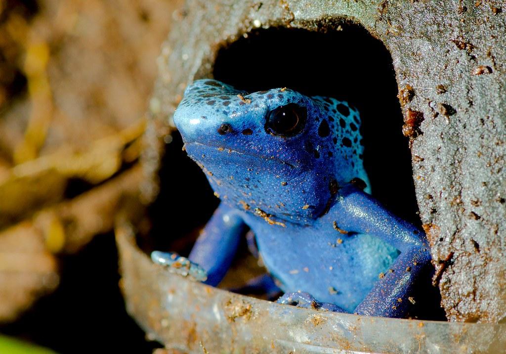 Blue Poison Frog (Dendrobates tinctorius)_2