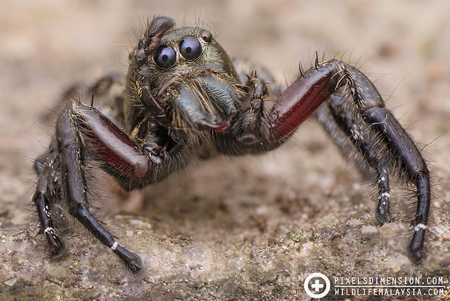 Heavy Jumper- Hyllus sp. ♂