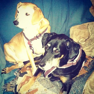 Sisterly love. #dogstagram #houndmix #dobermanmix #dobiemix #rescued #sisters #ilovemydogs