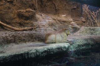 069 Osaka aquarium - capibara