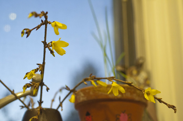 Small Forsythia