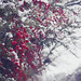 Snow laden berries by Selina Scruggs Photography
