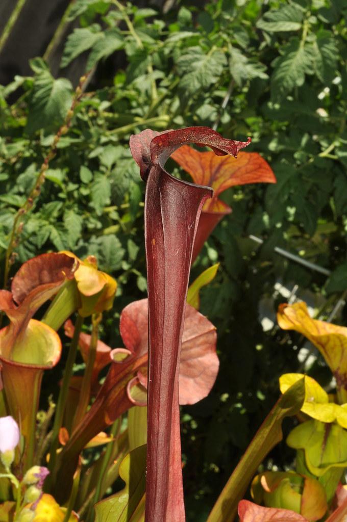 Sarracenia x moorei, seed grown by Gotcha! Plants