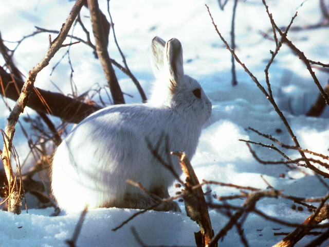 Header of Alaskan Hare