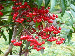 shrub(0.0), elaeagnus multiflora(0.0), acerola(0.0), flower(0.0), plant(0.0), crataegus pinnatifida(0.0), produce(0.0), food(0.0), rowan(0.0), evergreen(1.0), berry(1.0), tree(1.0), chokecherry(1.0), fruit(1.0), aquifoliaceae(1.0), schisandra(1.0), aquifoliales(1.0), hawthorn(1.0), lingonberry(1.0),
