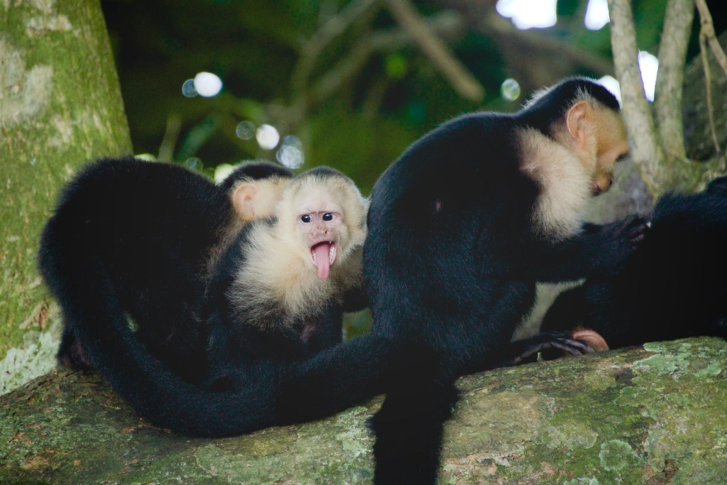 White-Faced Capuchin Family