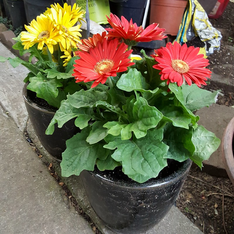 Potted up Gerber Daisy