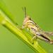 Grass hopper - Glenhurst Meadow, NJ