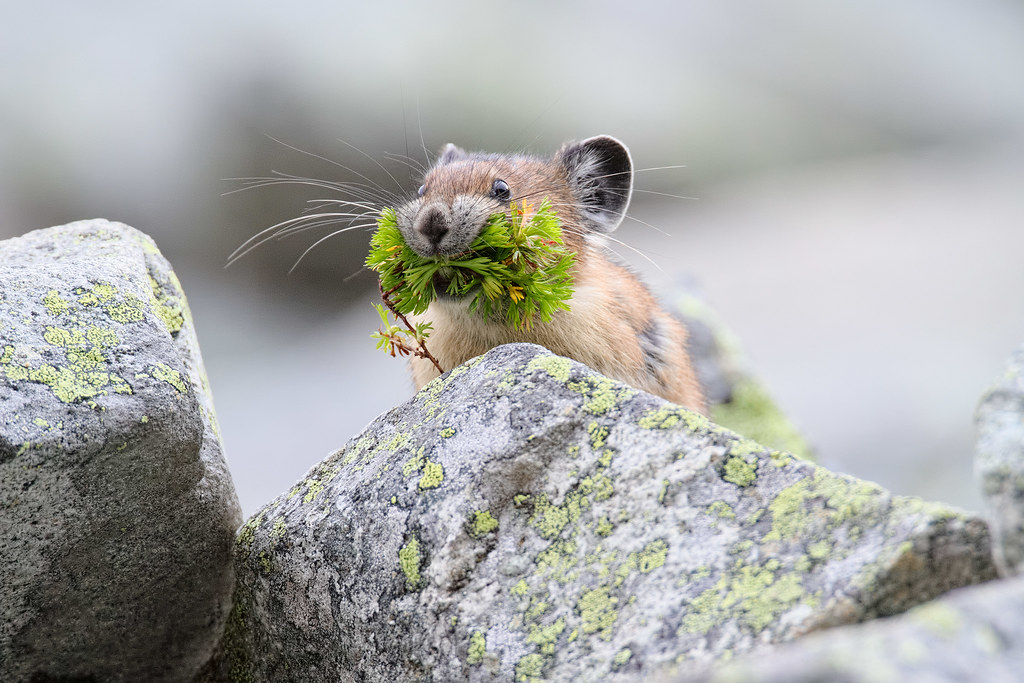 A pika with a mouthful of plants
