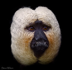 Male White Face Saki at Chester Zoo