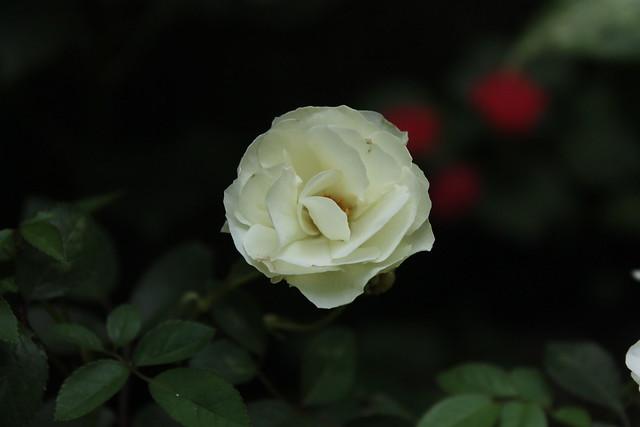 White Rose for True Love