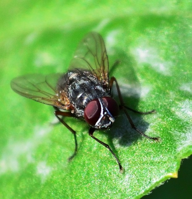The Fly.