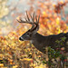 Whitetail Buck in Autumn by www.matthansenphotography.com