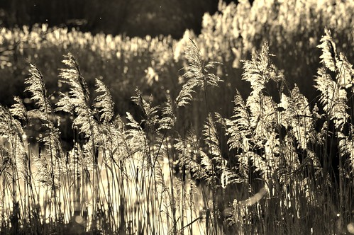 winter nature beautiful grass sepia afternoon sunny somerset poetic grown longgrass hamwall