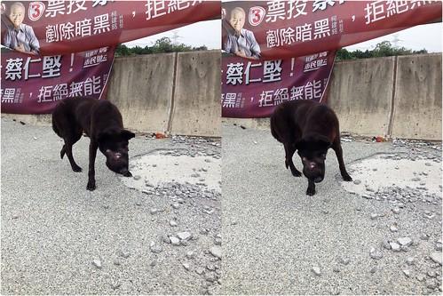 「求救」新竹市公道五路一段的高鐵橋下~有隻嘴巴腫脹發炎的米克斯~有人可以幫助牠嗎?謝謝您!20141130