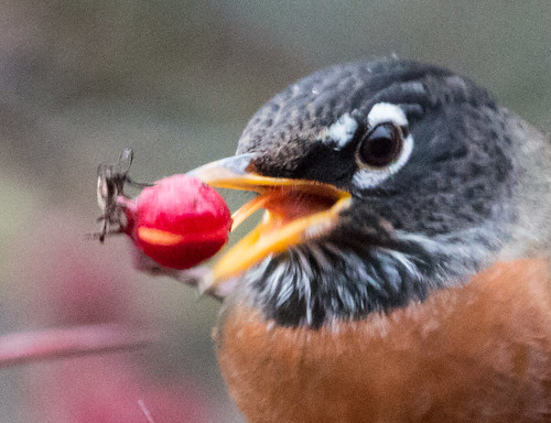 American Robin swallowing fruit using its tongue