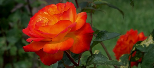 roses beautifulflowers sunsetcolors gardenroses shadesoforange beautifulroses sunsetrose sunsetroses closeupofarose sunsetinthemorning