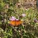 Gulf Fritillary Butterfly In My Garden 2015 - 01