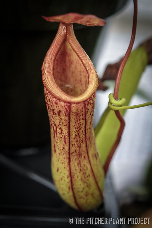 "Nepenthes ""Eglantine"""