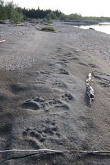 Bear prints on beach-KOVA