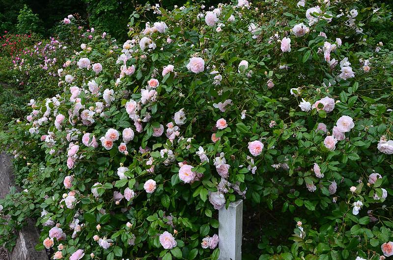 heirloom-roses-2