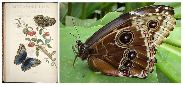 Menelaus Blue Morpho Butterfly (Morpho menelaus)
