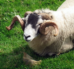A Swaledale ram with a beautiful pair of curled horns, Swaledale, North Yorkshire, England