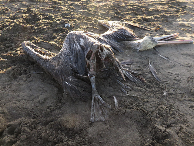 dead pelican; Ocean Beach, San Francisco; November 14, 2014