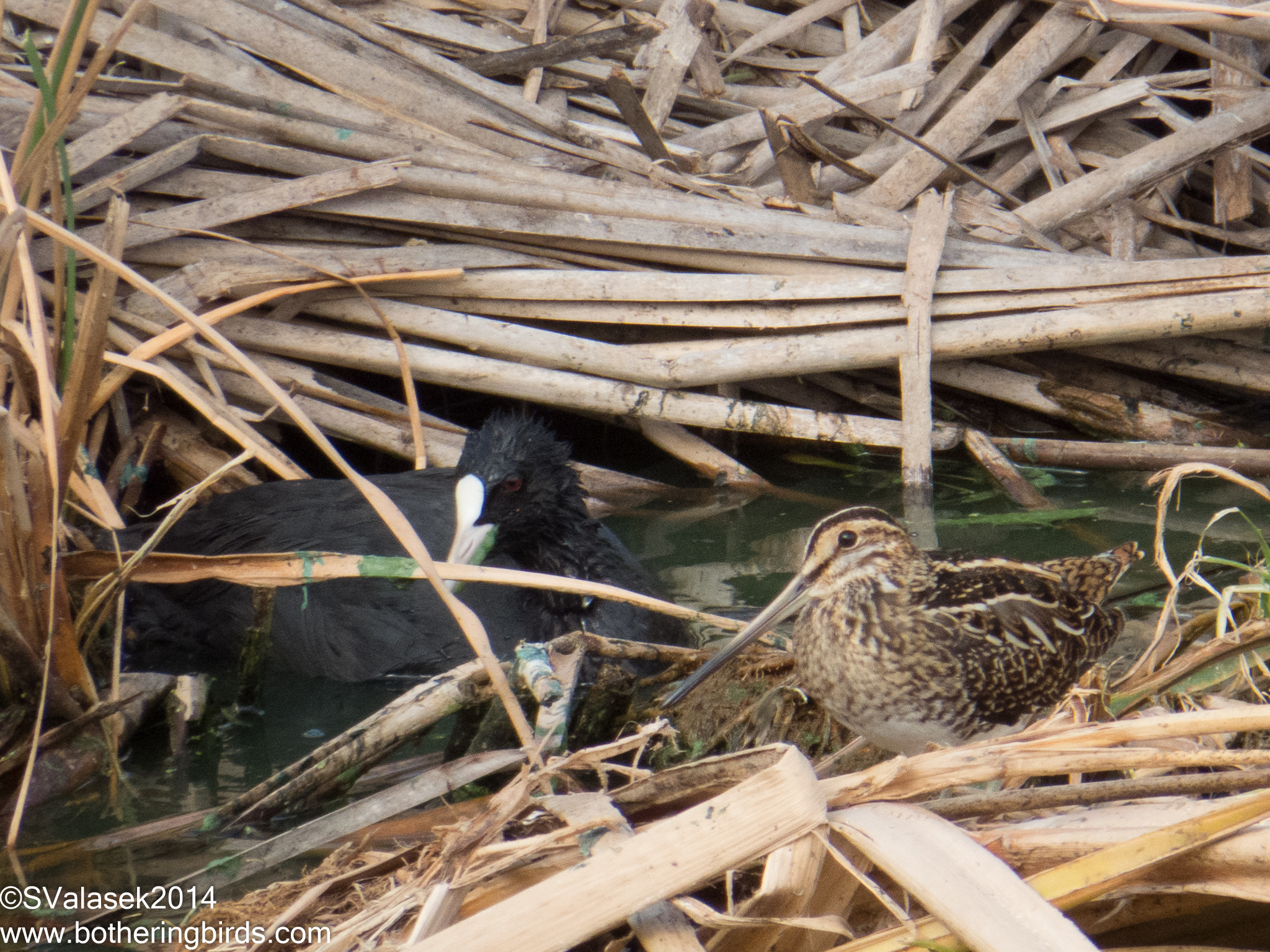 Common Snipe and Coot