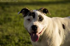 american bulldog(0.0), dog breed(1.0), animal(1.0), dog(1.0), dogo argentino(1.0), guard dog(1.0), carnivoran(1.0),