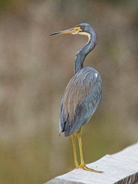 Tricolored Heron adult 20141118