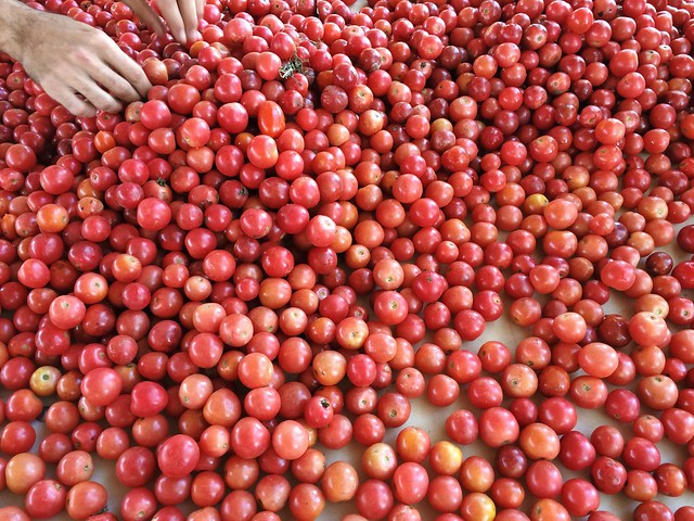 Sorting cherry tomatoes.