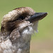 Kookaburra Mugshots by M Hooper