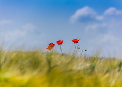 No. 1 Achievement - Poppies