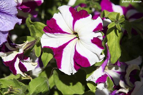 Una flor en los jardines de Elche. Creo que puede ser una campanilla aunque nos se mucho de flores,