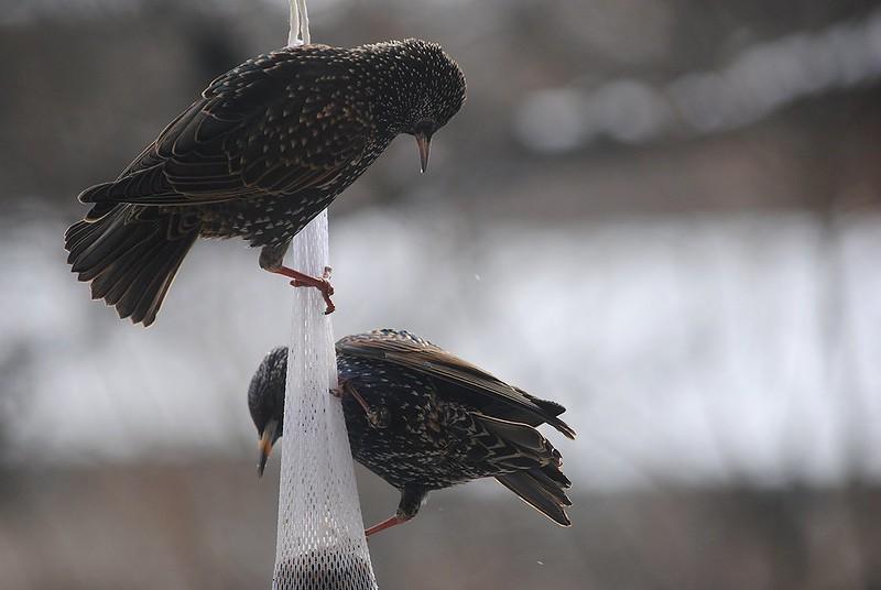 European Starling (Обыкновенный скворец)