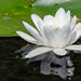 Wild White Water Lily